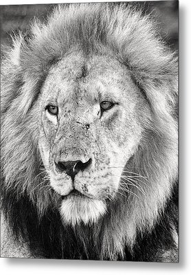 Lion King Metal Print by Adam Romanowicz
