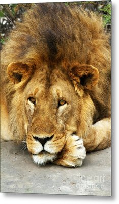 Lion King Emeritus Metal Print