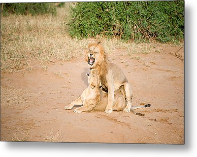 Lion Pair Panthera Leo Mating Metal Print