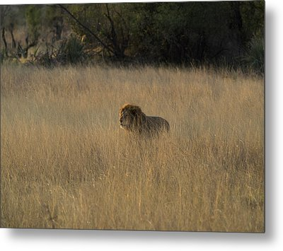 Lion Panthera Leo In Tall Grass That Metal Print by Panoramic Images