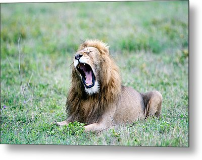 Lion Panthera Leo Yawning In A Field Metal Print by Panoramic Images