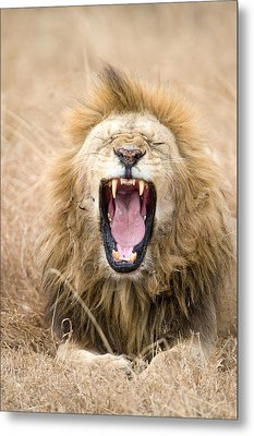 Lion Panthera Leo Yawning In A Forest Metal Print by Panoramic Images