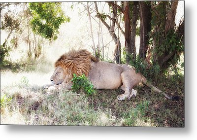 Lion Snoozing In The Afternoon Metal Print by June Jacobsen