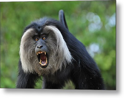 Lion-tailed Macaque Threat Display India Metal Print by Thomas Marent