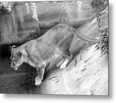 Metal Print featuring the photograph Lioness Black And White by Joseph Baril