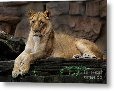 Lioness Metal Print by D Wallace