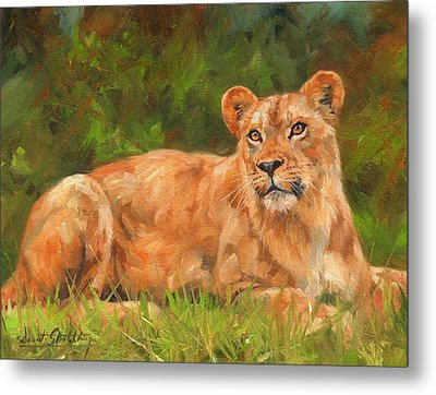 Lioness Metal Print by David Stribbling
