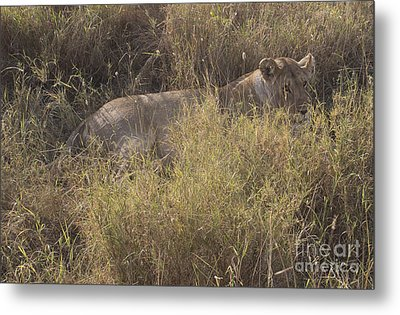 Lioness In Grass Metal Print