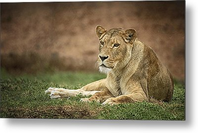 Lioness Metal Print by Kim Andelkovic