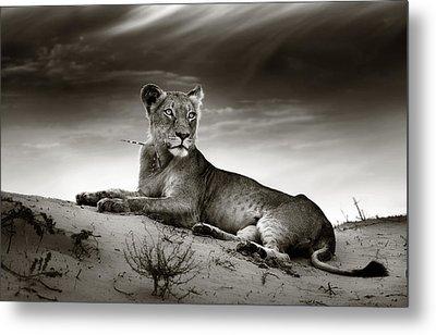 Lioness On Desert Dune Metal Print