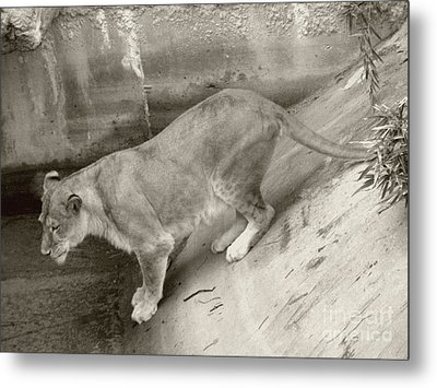 Metal Print featuring the photograph Lioness Sepia by Joseph Baril