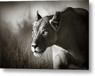 Lioness Stalking Metal Print by Johan Swanepoel