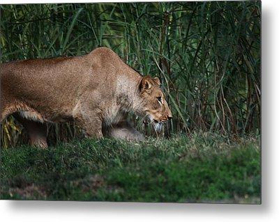 Lioness Stalking Metal Print by Joseph G Holland