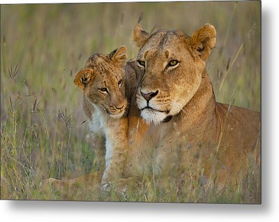 Lioness With Cub At Dusk In Ol Pejeta Metal Print by Ian Cumming