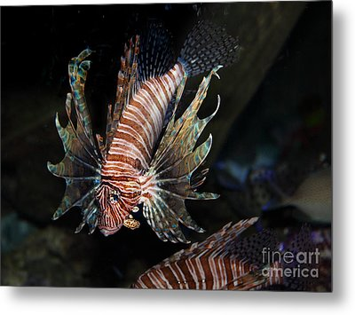 Lionfish 5d24143 Metal Print by Wingsdomain Art and Photography