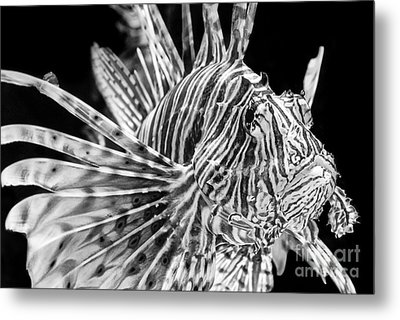 Lionfish Metal Print by Jamie Pham
