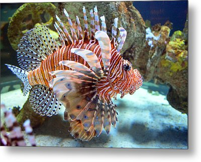 Lionfish Metal Print by Sandi OReilly