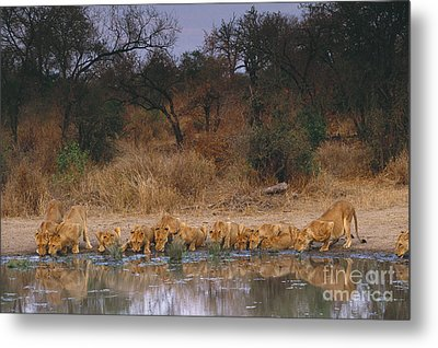 Lions Drinking Metal Print by Art Wolfe