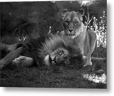 Lions Me And My Guy Metal Print by Thomas Woolworth