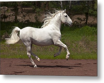 Lipizzan At Liberty Metal Print by Wes and Dotty Weber