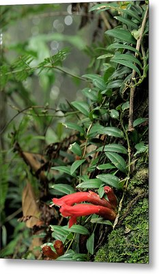 Lipstick Plant Flowers Metal Print by Fletcher & Baylis