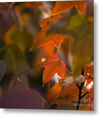 Liquidambar Autumn Metal Print by Anne Gilbert