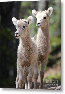 Little Bighorns Metal Print