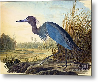 Little Blue Heron Metal Print by Celestial Images