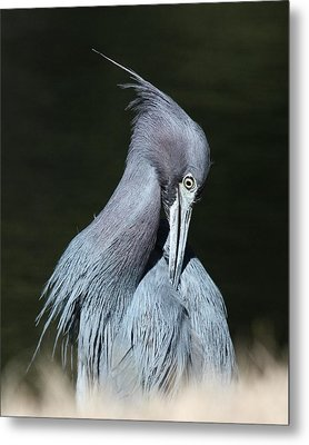 Little Blue Heron Closeup  Metal Print