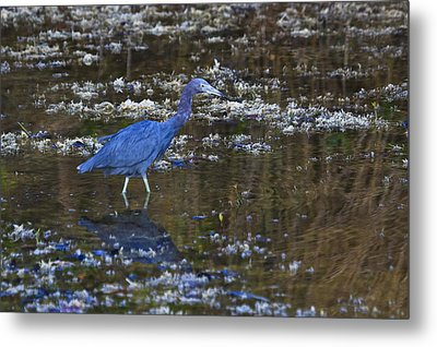 Metal Print featuring the photograph Little Blue Heron by Gary Hall