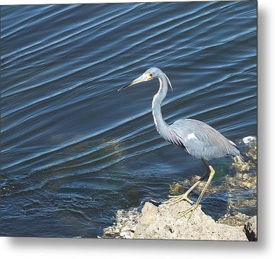Little Blue Heron II Metal Print