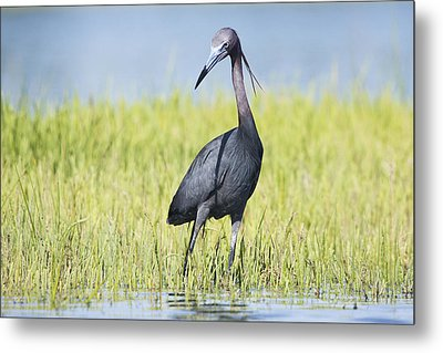 Little Blue Heron In The Marsh Metal Print
