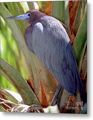 Little Blue Heron Male In Breeding Metal Print by Millard H. Sharp