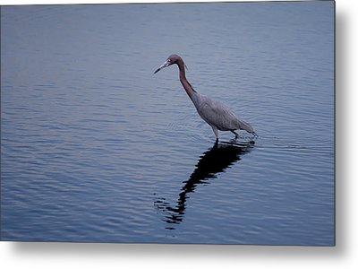 Metal Print featuring the photograph Little Blue Heron On The Hunt by John M Bailey