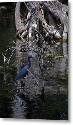 Little Blue Heron Metal Print by Skip Willits