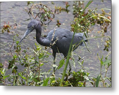 Little Blue Heron - Waiting For Prey Metal Print by Christiane Schulze Art And Photography
