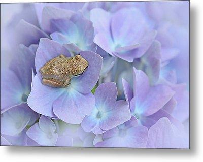 Little Brown Frog On Hydrangea Flower  Metal Print by Jennie Marie Schell
