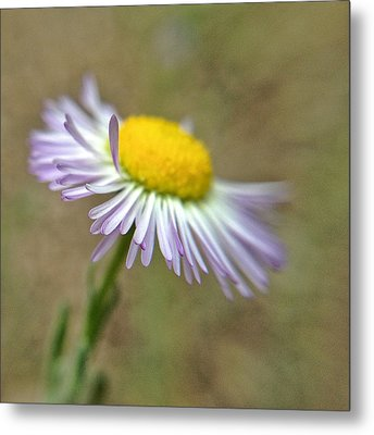 Metal Print featuring the photograph Little Daisy by Kevin Bergen