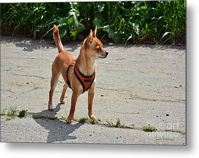 Little Dog On High Alert Metal Print
