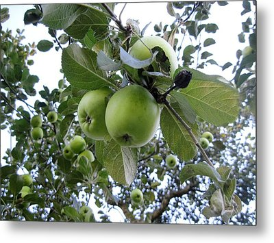Little Green Apples Metal Print by Patricia E Sundik