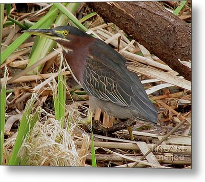 Metal Print featuring the photograph Little Green Heron by Donna Brown