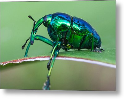 Little Green Weevil Metal Print by Craig Lapsley