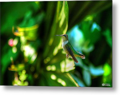 Metal Print featuring the photograph Little Humming Bird by Ed Roberts