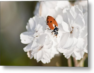Little Ladybug On Baby's Breath Metal Print
