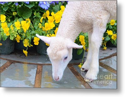 Little Lamb Metal Print by Kathleen Struckle