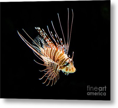 Little Lionfish Metal Print by Jamie Pham