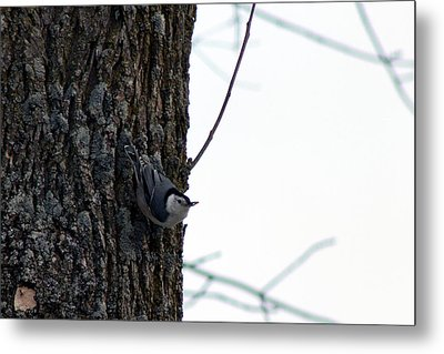 Little Nuthatch Metal Print by Rhonda Humphreys
