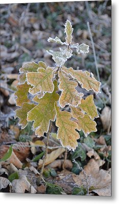 Metal Print featuring the photograph Little Oak by Felicia Tica
