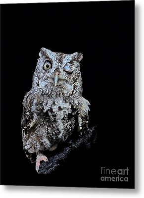 Little Owl Winks Eye In Darkness Metal Print by Wayne Nielsen