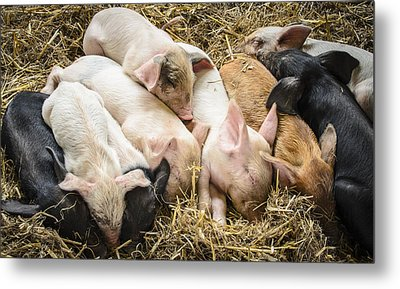 Little Piggies Metal Print